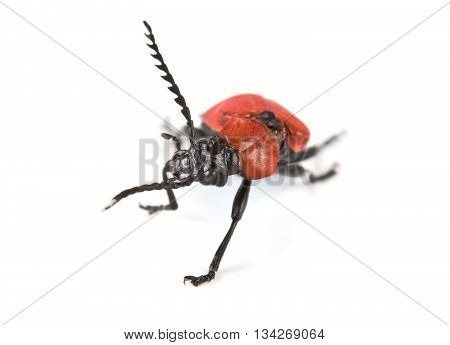 Beetle Scarlet lily or red lily beetle or lily leaf beetleit is isolated on a white background