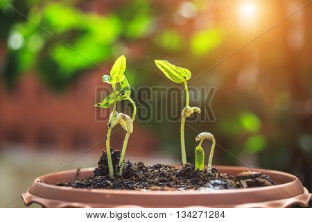 Young Beans Plant In Soil And Blur Background