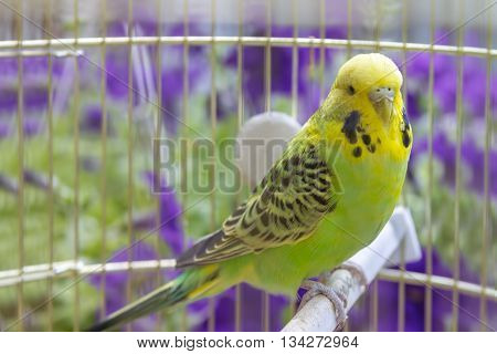 Green wavy parrot sits in a cage