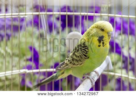 Green wavy parrot sits in a cage.