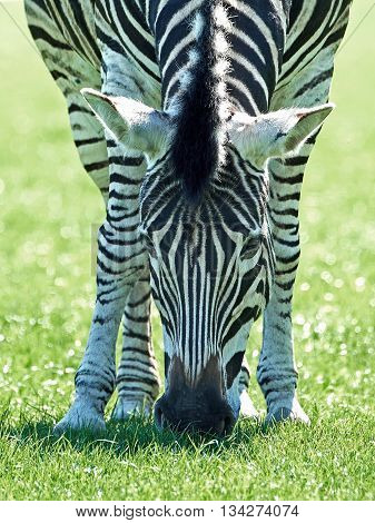 Chapmans zebra (Equus burchelli chapmani) eating grass in its habitat