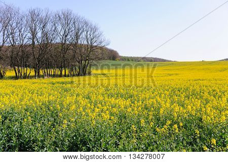 Blooming summer field of yellow rape, anola