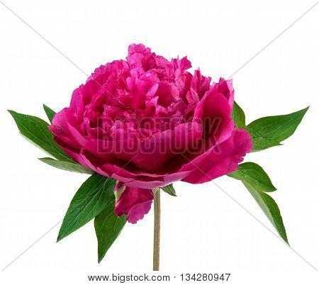 Peony flower. Pink peony isolated on white background.
