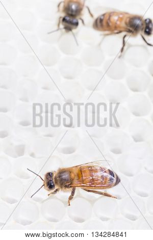 Close up of worker honey bee on pristine white beeswax honey comb produced on a strong nectar flow.
