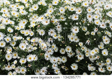 Flowering in autumn Perennial Aster. Flowering Glade. Selective focus