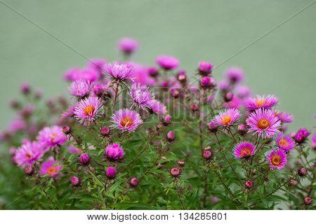 Flowering in autumn Perennial Aster. Flowering bush. Selective focus