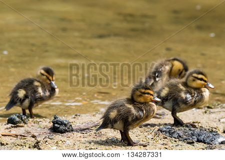 Group Of Four Chicklets Of  Wild Ducks (mallard)
