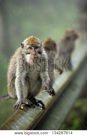 Family of monkeys in jungle. Bali. Indonesia