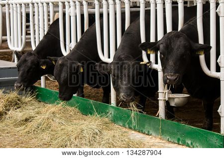 Aberdeen Angus calves in feedlot eating hay