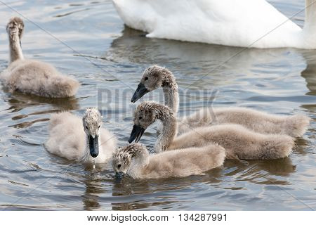 Group Of White Swan Chicklets Searching Food