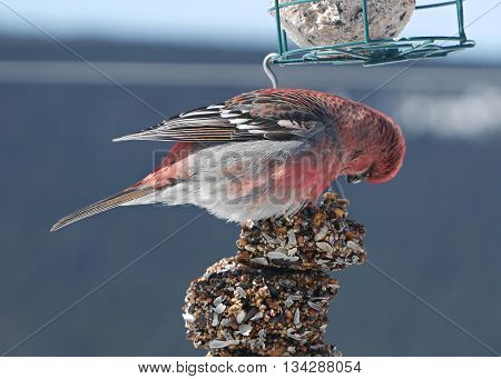 stunning red male pine grosbeak feeding on backyard feeder