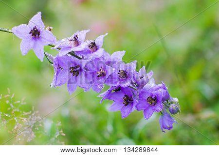 Blossom - Delphinium flowers in a perennial garden