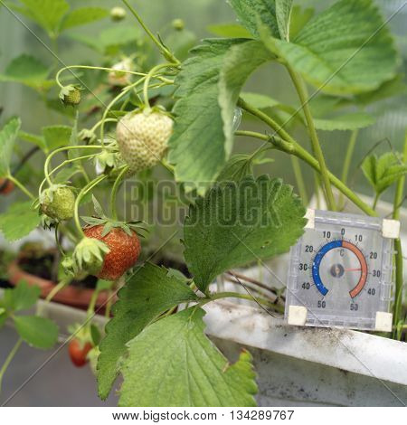 Nearly ripe strawberries growing in a greenhouse a square thermometer in the blurred background