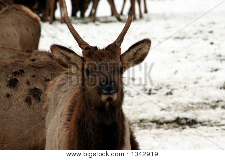 Elk Looking Around