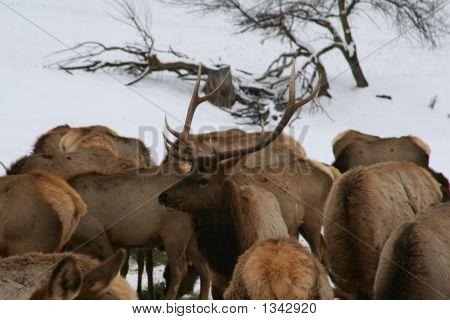 Elk Looking Around