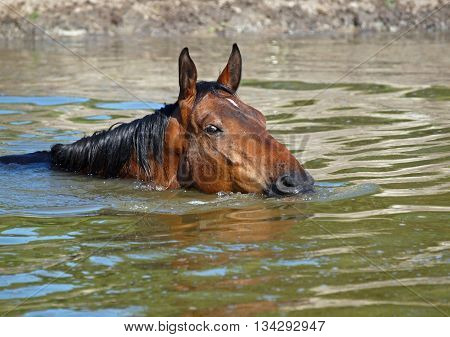The bay horse swims on the lake
