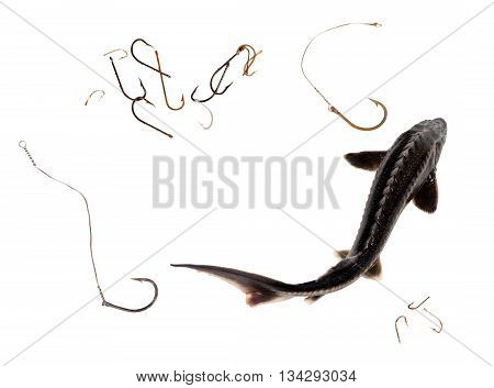 Raw Sterlet And Old Rusty Fishhooks