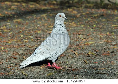 Pigeon. Dove. The large bird genus Columba comprises a group of medium to large stout-bodied pigeons, often referred to as the typical pigeons. Light gray pigeon.