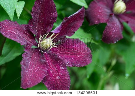 A clematis flower blooming in early June