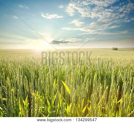 Fresh wheat field in the rays of dawn on background of sky