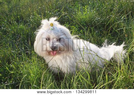 White dog in the green grass - Bichon Maltese Dog Breed