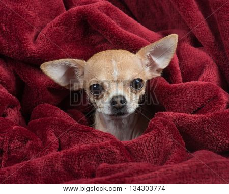 Cute chihuahua wrapped in a deep red velvet blanket