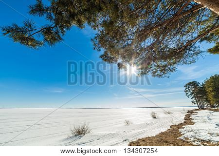 landscape with pines on spring frozen lake