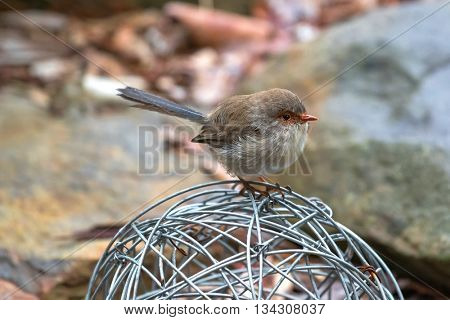 Closeup of cute little Superb Fairy Wren bird with wet feathers perching on metal ball with blurred background