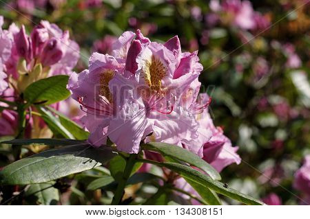 Rhododendron in spring. Most species have showy flowers which bloom from late winter through to early summer