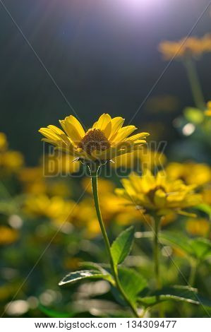 Heliopsis helianthoides sunflower-like composite flowerheads commonly called ox-eye or oxeye.