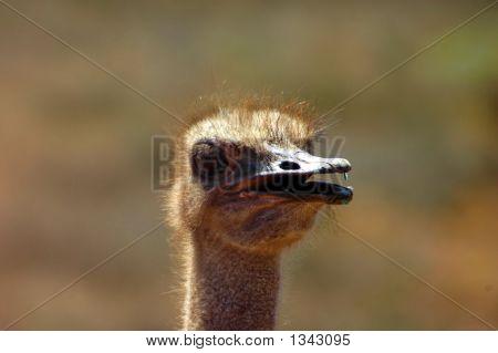 Ostrich Head Portrait