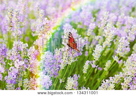 Butterfly on lilac lavender flowers field background