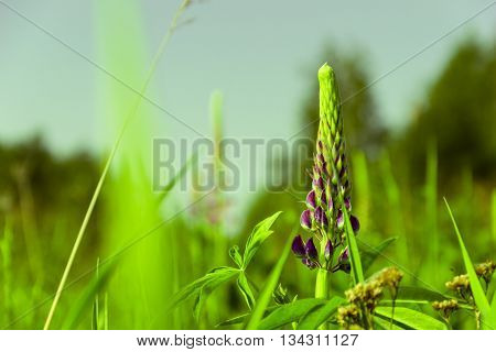 Lupins - a genus of plants of the Legume family. Presented annual and perennial herbaceous plants dwarf shrubs shrubs.