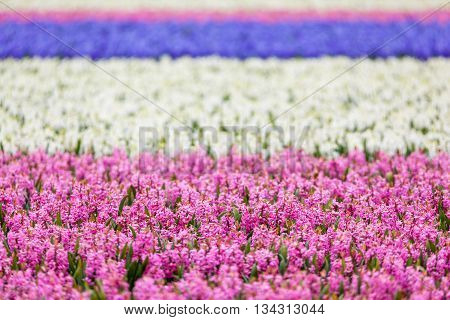 Hyacinth. Beautiful colorful pink blue and white hyacinth flowers in spring garden colorful floral background flower fields in Netherlands.