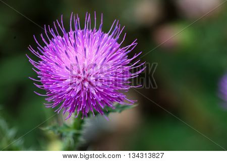 Beautiful lilac flower of thistle in meadow