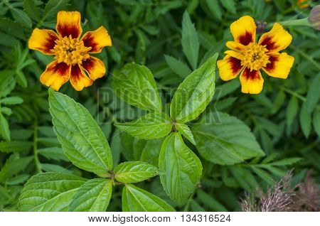 Zinnia flower - Vermilion Yellow-Red aster flowering plant. Asteraceae flowers family. Dark-green background.