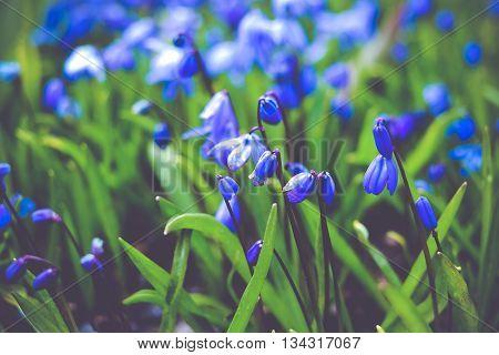 Spring Scilla Blue