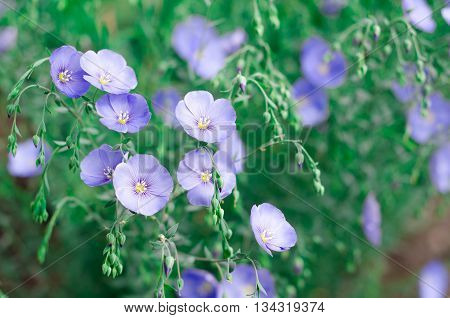 purple flowers in wild nature. closeup focus