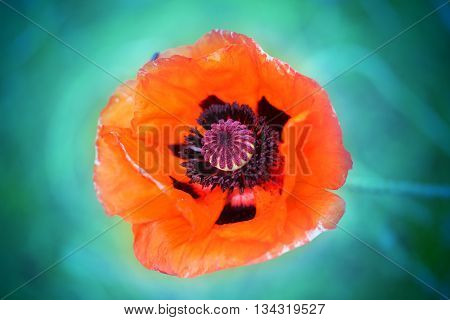 Macro photo of red poppy on a green background in the park
