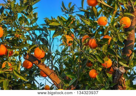 Ripe oranges hanging on a tree. Season of harvest. Tarragona Spain.