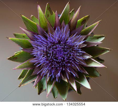 The flower of the artichoke plant in full bloom