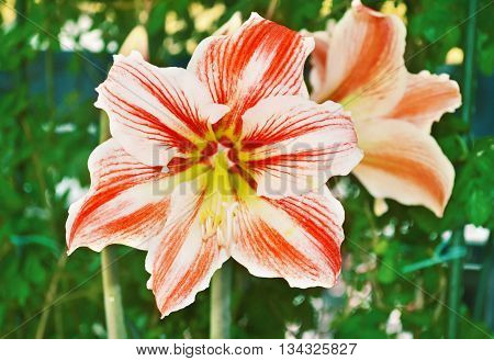 close up of a blooming amaryllis flower in the nature - flower photo texture