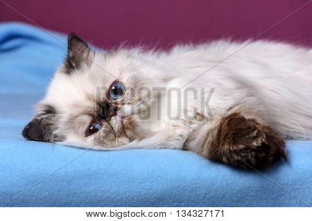Cute persian seal tortie colorpoint kitten is lying on a blue bedspread in front of a purple wall background