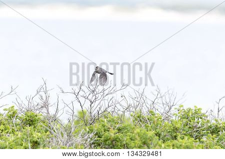 Gray Catbird skims tops of low bushes on beach