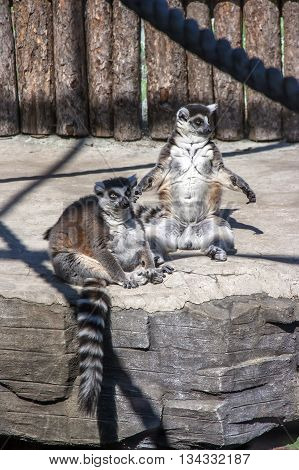 Two adult Lemur Katta (Lemur catta) at the zoo