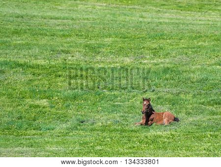 Brown Foal Lays in Green Field with copy space