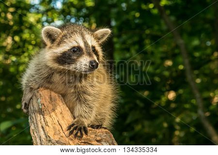 A baby raccoon climbing an old tree in the woods.