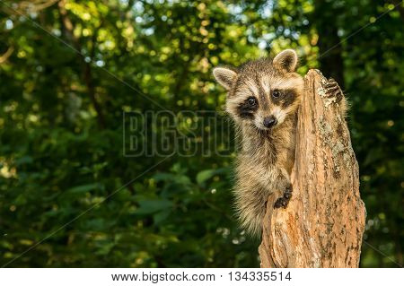 A baby raccoon hanging on to an old tree stump in the woods.