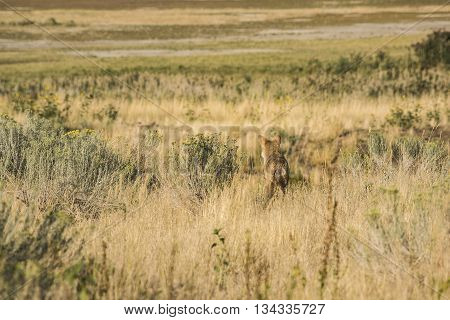 Coyote in the grasslands facing away near the Great Salt Lake in Utah