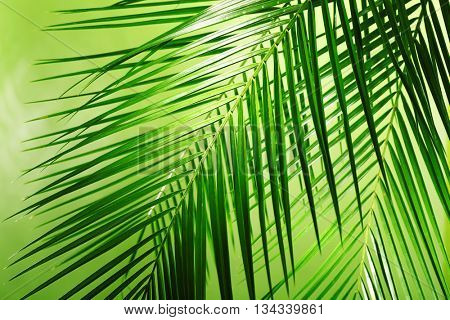 Green leaves of palm tree on color background